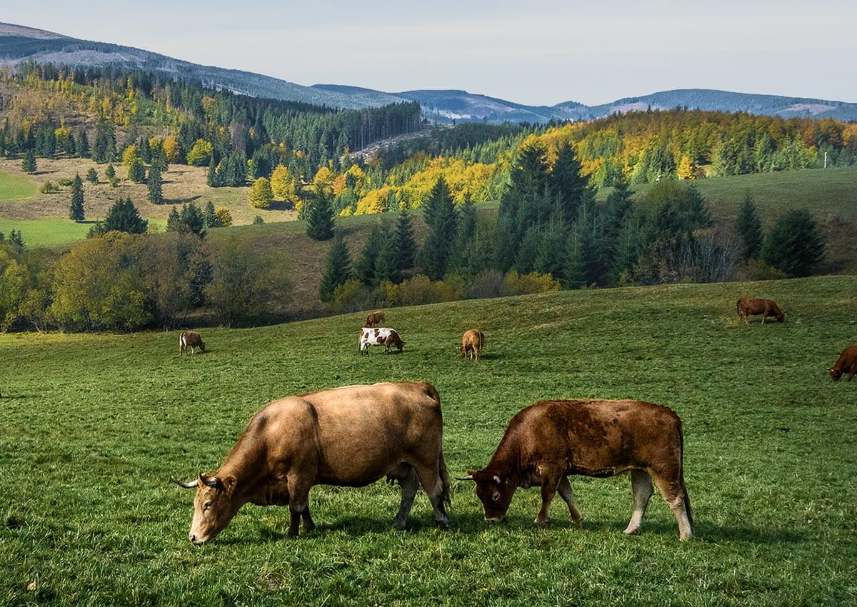 ecobeef-ourfarm-cows